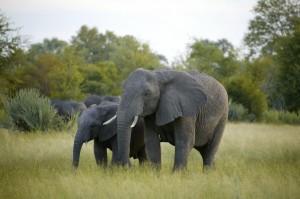 Behäbige Riesen in der Savanne (Bild: Isabella Neven DuMont)