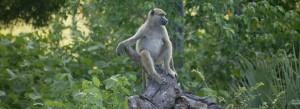 Einfach mal Päuschen machen: der Affe (Bild: Isabella Neven DuMont)