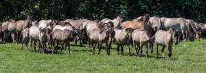 Eine Horde Wildpferde (Bild: Wikicommons/Dietmar Rabich)
