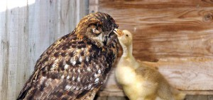 GANDOLPH THE OWL WHO HAS ADOPTED A GOSLING, ABERDEENSHIRE, SCOTLAND, BRITAIN - JUN 2004