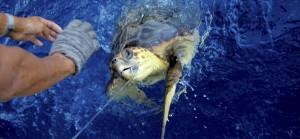 Eine Meeresschildkröte hat einen Köder geschluckt (Bild: dpa)