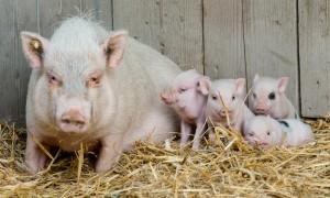 Die vier Schweinchen mit ihrer Mutter Marianne