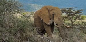 Elefanten sind bedoht, vor allem in Kenia, wo Wildere die Tiere jagen und töten (Bild: AFP)