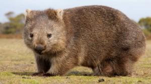 Ein ausgewachsener Wombat - sieht nur gemütlich aus, ist aber rasend schnell und manchmal rasend wütend (Bild: Fotolia)