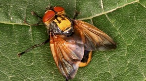 arten-2014-insekt-goldschildfliege100~_v-image853_-7ce44e292721619ab1c1077f6f262a89f55266d7