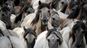 arten-2014-nutztierrasse-duelmener-pferd-100~_v-image853_-7ce44e292721619ab1c1077f6f262a89f55266d7
