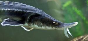 Stör ist Fisch des Jahres