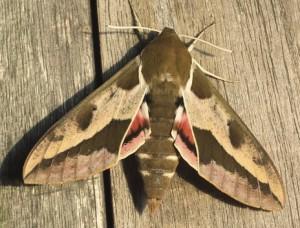 Schmetterling Wolfsmilchschwärmer