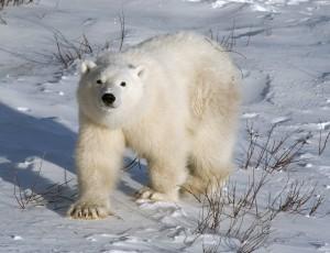 Eisbär groß