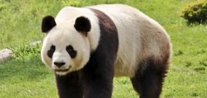 Ein Panda-Bär liebt Pflanzen, vor allem aber Bambus (Bild: Thinkstock)