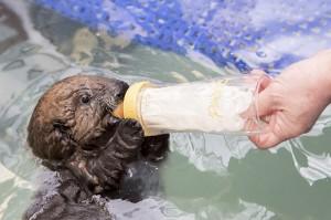 Der junge Otter wird mit der Flasche gefüttert, bis er sich selbstständig ernähren kann. (Bild: dpa)
