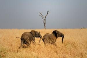 African bush elephant, Kidepo National Park, Uganda