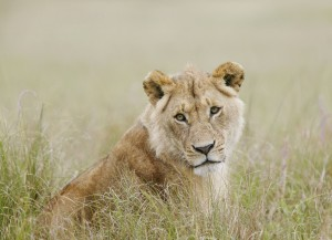 African lion (Panthera leo); Masai Mara National Reserve, Kenya