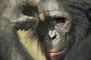 Bonobo, Lola Ya Bonobo Sanctuary, Kinshasa, DR of Congo