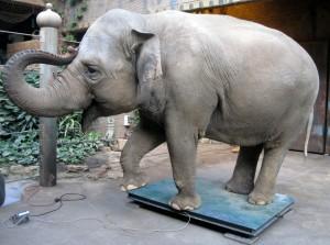 Fast viereinhalb Tonnen bringt Elefanten-Dame Hoa auf die Waage.