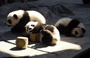 Faulenzen - eine Lieblingsbeschäftigung von Pandas. (Bild: dpa)