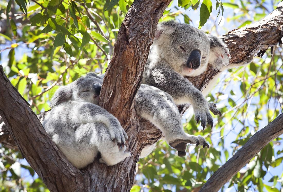 auf der suche nach schl frigen koalas. Black Bedroom Furniture Sets. Home Design Ideas