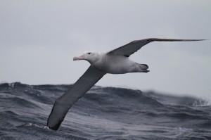 KINA - Kräftiger Wind ist gut für Albatrosse