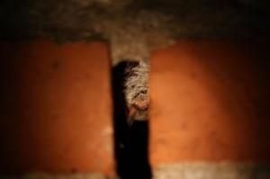 Die Fledermaus hat sich hinter Steinen ein Plätzchen für den Winterschlaf gesucht. Hier hängt sie jetzt, bis es draußen wieder warm genug ist. (Foto: dpa)