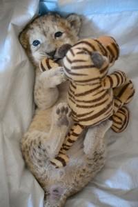 Der kleine Löwe nuckelt gern an einem Stoff-Tiger. (Foto: dpa)