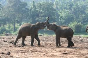 Zwei Elefanten aus dem Waisenhaus spielen miteinander. (Foto: Lehnen)