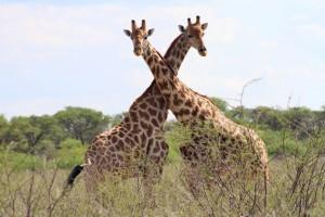 Mit ihren langen Hälsen können Giraffen die Blätter von Bäumen erreichen. (Foto: dpa)