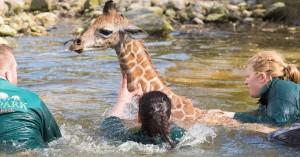 Sofort waren Helfer zur Stelle, um das Giraffen-Baby aus dem Wasser zu holen. (Foto: dpa)