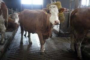 KINA - Kühe in der Putzanlage