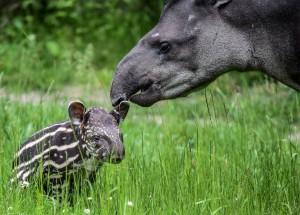 Der kleine Tapir mit seiner Mutter. (Foto: dpa)