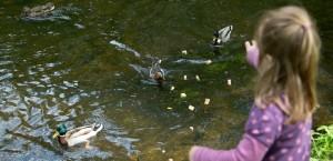 Ein Mädchen füttert Enten im Park. Statt Brot wäre aber zum Beispiel Grünkohl besser für die Tiere. (Foto: dpa)
