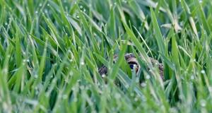 Beim Feldhasen sitzen die Augen seitlich am Kopf. So haben die Tiere einen guten Rundumblick. Oft bleiben sie den ganzen Tag in der Kuhle sitzen, um sich vor Feinden zu schützen. (Foto: dpa)