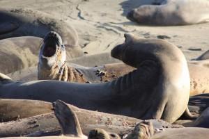 Mit Elefanten haben See-Elefanten nichts zu tun. (Foto: dpa)