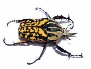 """Nicht zum Kuscheln, aber zum Beobachten: Käfer können inetressante Haustiere sein. Ihre lateinischen Namen allerdings klingen kompliziert. Dieser Käfer nennt sich """"Mecynorrhina oberthueri kirchneri forma decorata""""."""