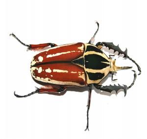 """""""Mecynorrhina torquata ugandensis"""" - so der lateinische Name von diesem Krabbeltier."""