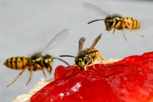 Eine Wespe ist schlanker, und die gelben Streifen leuchten mehr als bei einer Biene. (Foto: dpa)